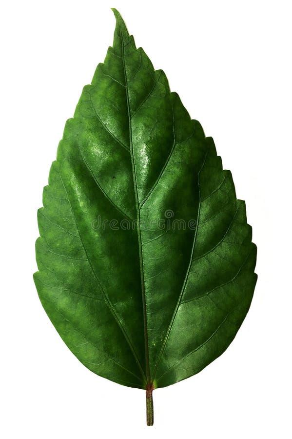 De groene bladeren van Hibiscussyriacus stock afbeeldingen