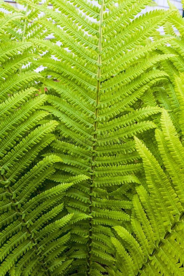 De groene bladeren van de struisvogelvaren royalty-vrije stock fotografie