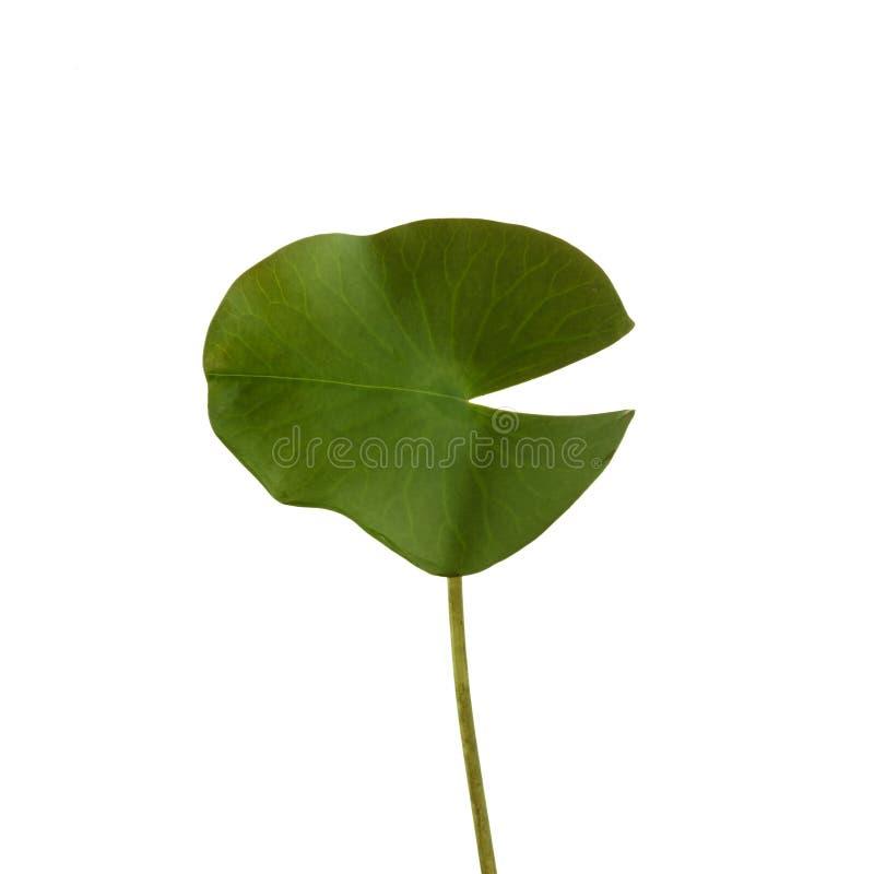De groene bladlotusbloem die op witte achtergrond wordt geïsoleerd, omvat het knippen weg stock foto's