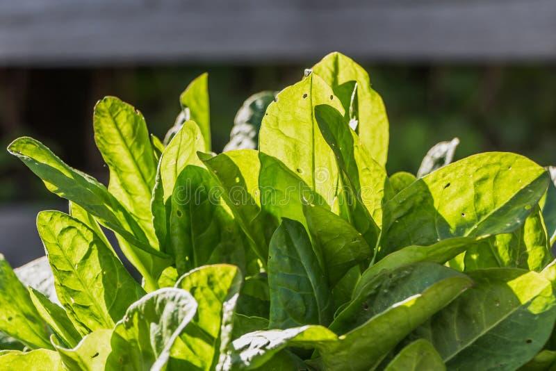 De groene bovenkanten van de jonge verse groene zure bladeren van de tuinzuring met gaten van zwarte graanklanderkevers groeien o stock fotografie