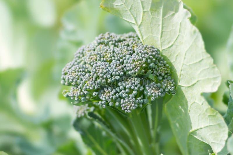 De groene broccolispruit onder bladeren, in moestuin, close-up royalty-vrije stock fotografie