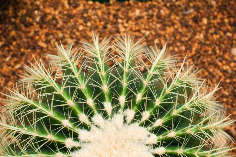 De groene cactus van het heft royalty-vrije stock afbeeldingen