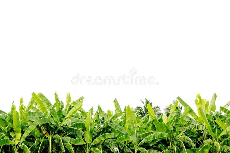 De groene die bladeren van de banaanboom op aanplanting op witte achtergrond wordt geïsoleerd stock afbeelding