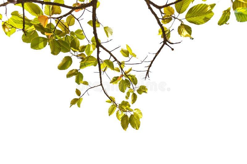De groene die zomer van de bladlente op witte, abstracte achtergrond voor het concept van de de lentezomer wordt geïsoleerd royalty-vrije stock afbeeldingen