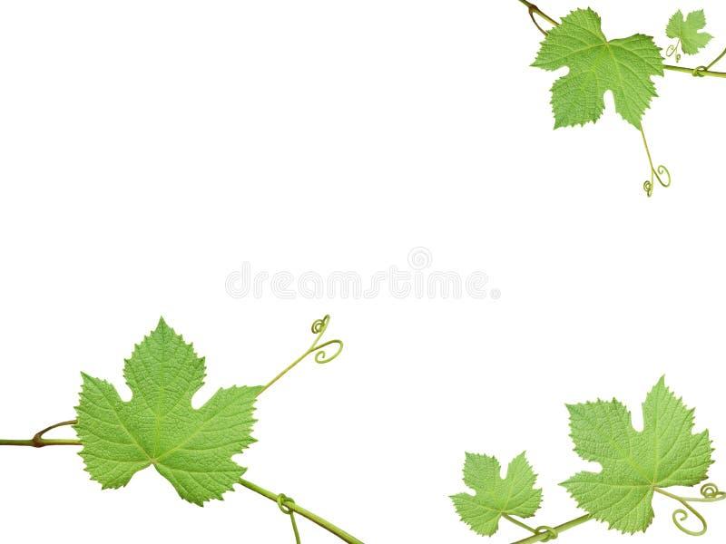De groene druivenbladeren stock afbeeldingen