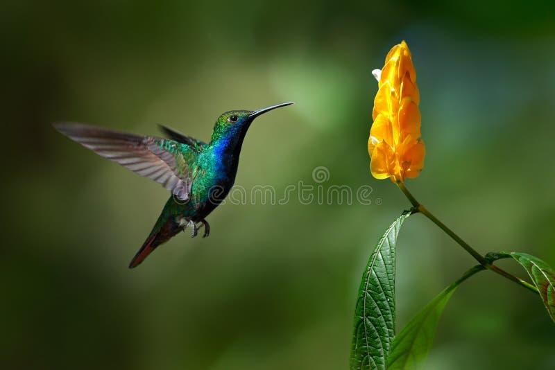 De groene en blauwe Kolibrie zwart-Throated Mango, Anthracothorax-nigricollis, die naast mooie gele bloem vliegen stock fotografie