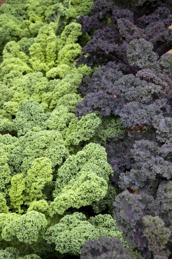 De groene en Boerenkool van Bourgondië stock afbeeldingen
