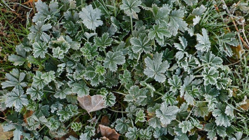 De groene en lichtjes droge bladeren zijn behandeld met een laag van schuim Gras in de vorst royalty-vrije stock fotografie