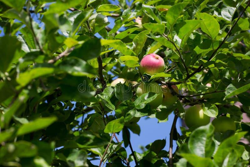 De groene en rode appelen groeien op de tak van de appelboom met bladeren onder sunligh Rijpe appelen op de boom op een hemelacht royalty-vrije stock foto