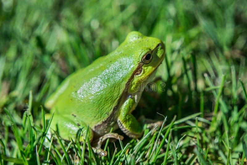 De groene Europese zitting van de boomkikker in het gras royalty-vrije stock afbeelding