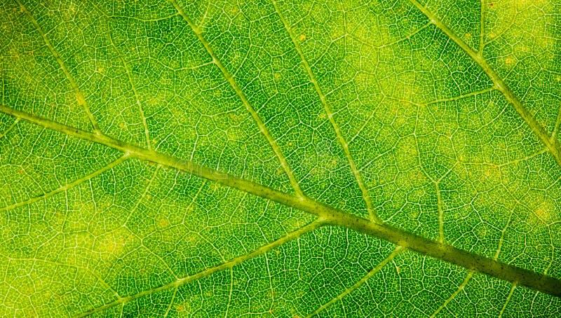 De groene foto van de de structuur extreme macroclose-up van de blad verse gedetailleerde ruwe oppervlakte met hoofdnerf, bladade stock foto's
