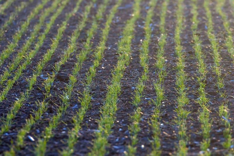 De groene gebieden met jonge spruiten bij zonsopgangspinneweb op een groene tarwe, springen landbouwzonsopgang op stock foto's