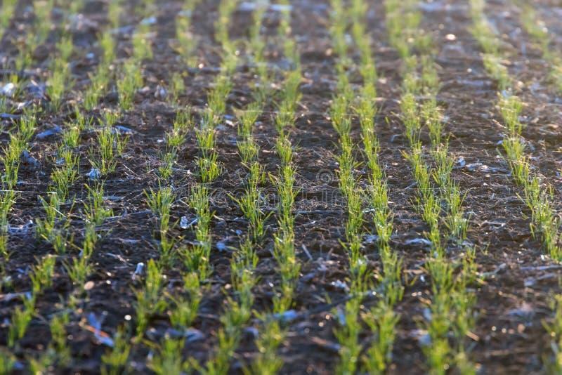 De groene gebieden met jonge spruiten bij zonsopgangspinneweb op een groene tarwe, springen landbouwzonsopgang op royalty-vrije stock afbeeldingen