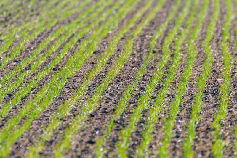 De groene gebieden met jonge tarwespruiten bij zonsopgang groene tarwe, springen landbouwzonsopgang op royalty-vrije stock foto's