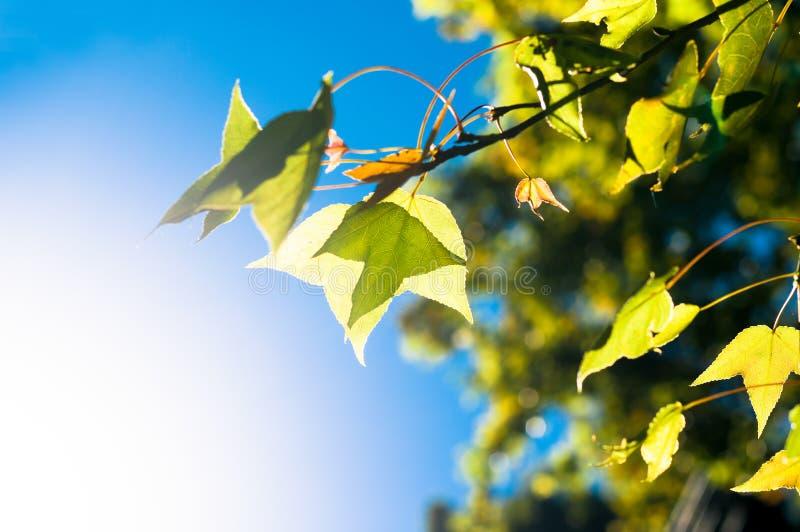 de groene of gele esdoornbladeren op blauwe hemelachtergrond onder su royalty-vrije stock foto