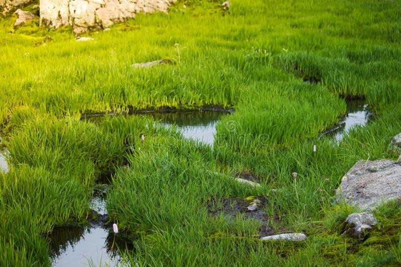 De groene graszegge groeit in het moeras royalty-vrije stock foto's