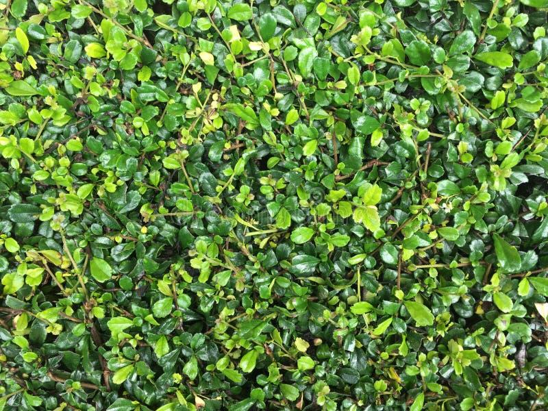 De groene hagen verlaten volledige kaderachtergrond in de tuin stock fotografie