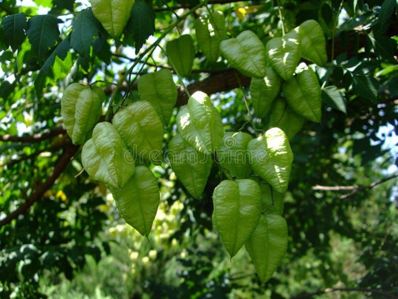 De groene hart gevormde lantaarns groeien op een boom stock afbeeldingen