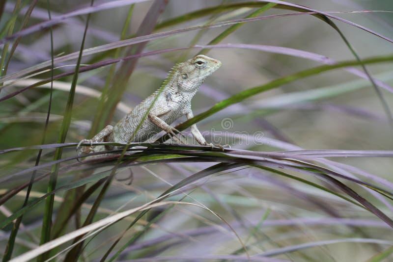 De groene holding van de kameleontribune op boomblad in de wildernis, klein hagedisdraak de jachtinsect voor voedsel, dierlijke h stock foto
