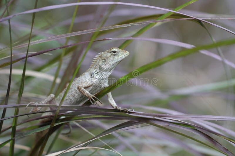De groene holding van de kameleontribune op boomblad in de wildernis, klein hagedisdraak de jachtinsect voor voedsel, dierlijke h royalty-vrije stock afbeelding