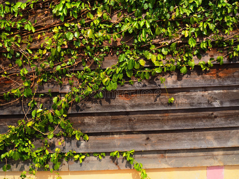 De groene Installatie van de Klimplant op de muur royalty-vrije stock foto's