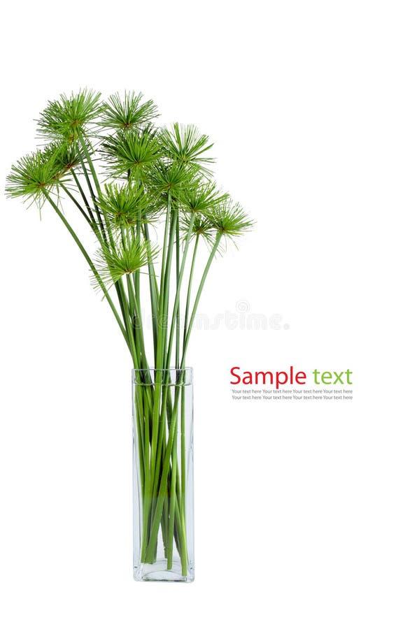 De groene installatie van de papyrus stock afbeeldingen