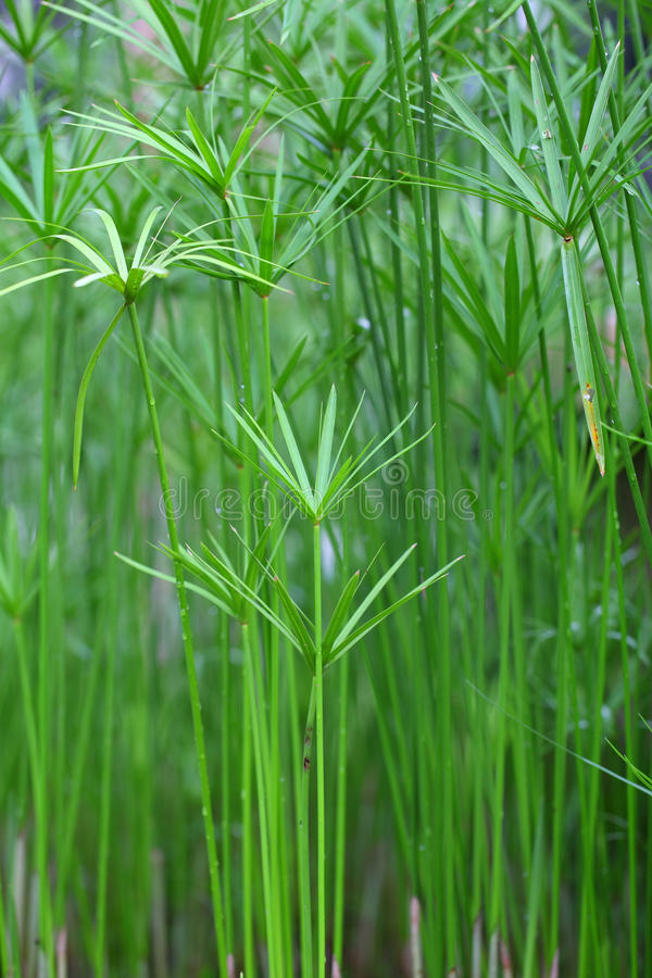 De groene installatie van de papyrus op glazen stock foto's