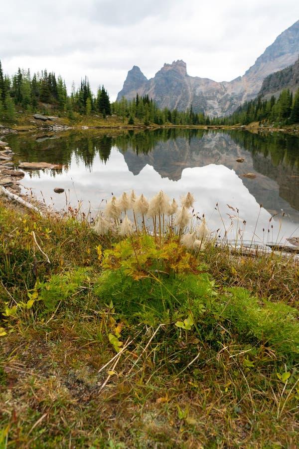 De groene installaties komen in de lente in alpiene weiden hoog in Canadees Rocky Mountains tot bloei royalty-vrije stock fotografie
