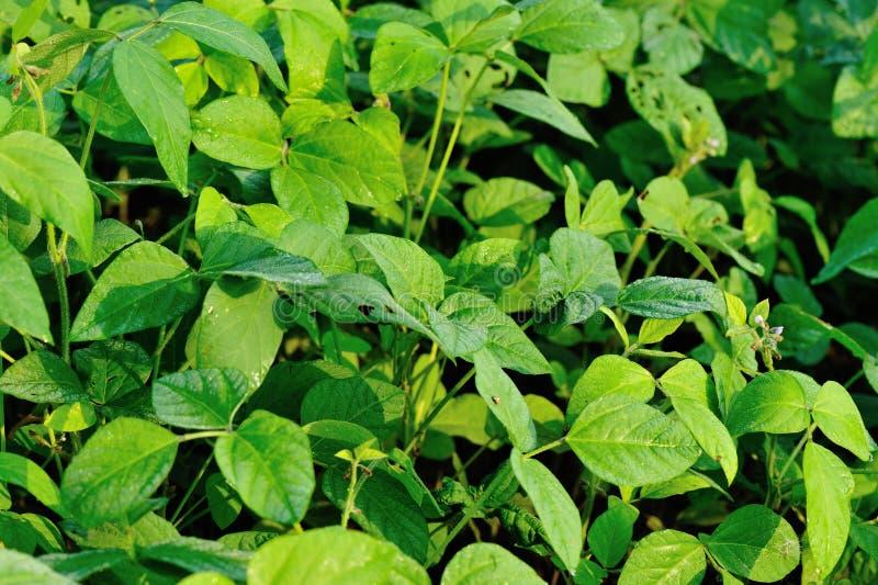 De groene installaties van de sojaboon in de groei stock afbeelding