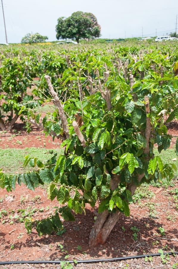 De groene installaties van Koffiebonen groeien in rijen bij een landbouwbedrijf in Kauai, Hawaï royalty-vrije stock foto's