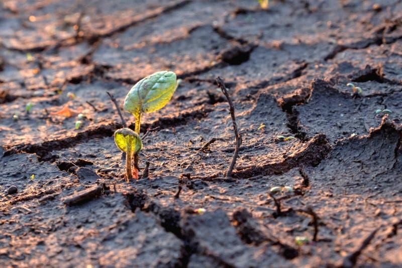 De groene jonge spruit is op gebarsten droog land gegroeid royalty-vrije stock afbeelding