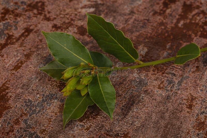 De groene jonge tak van de aromalaurier stock afbeeldingen