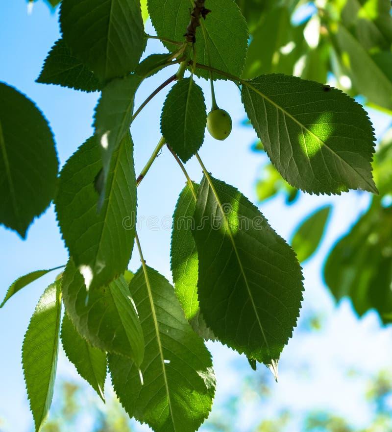 de groene kersen rijpen zon royalty-vrije stock fotografie