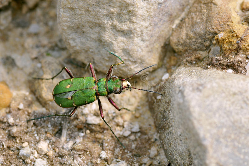 De groene Kever van de Tijger op kiezelstenen royalty-vrije stock afbeelding