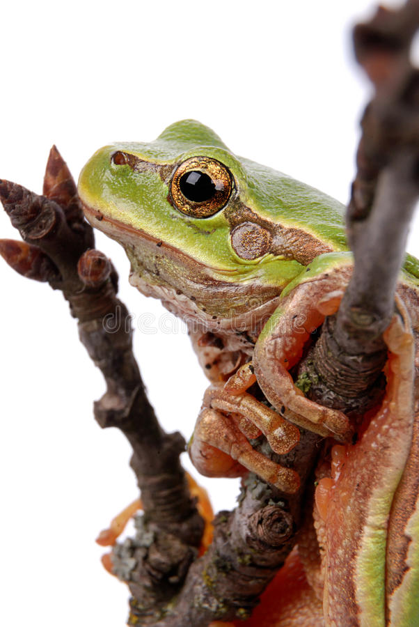 De groene Kikker van de Boom royalty-vrije stock foto
