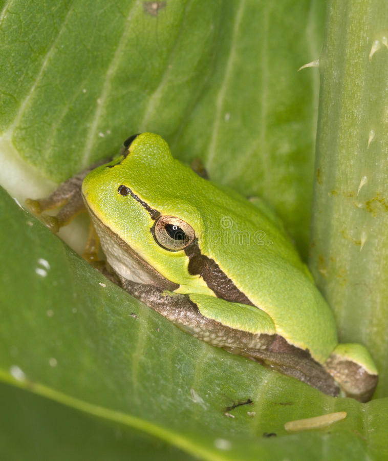 De groene Kikker van de Boom op een groene blad/een Hyla AR royalty-vrije stock afbeeldingen