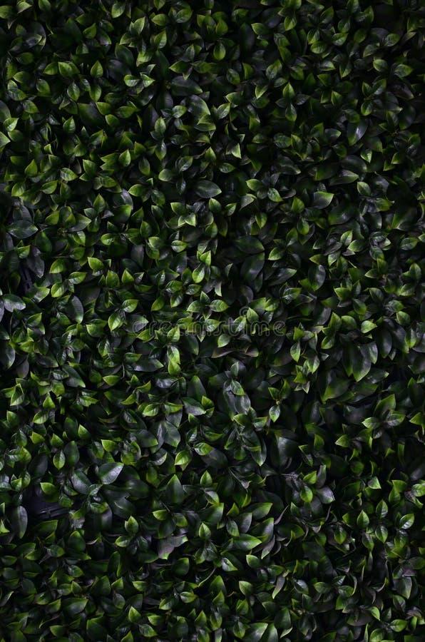 De groene klimop groeit langs de muur De textuur van dicht struikgewas van zal royalty-vrije stock foto's