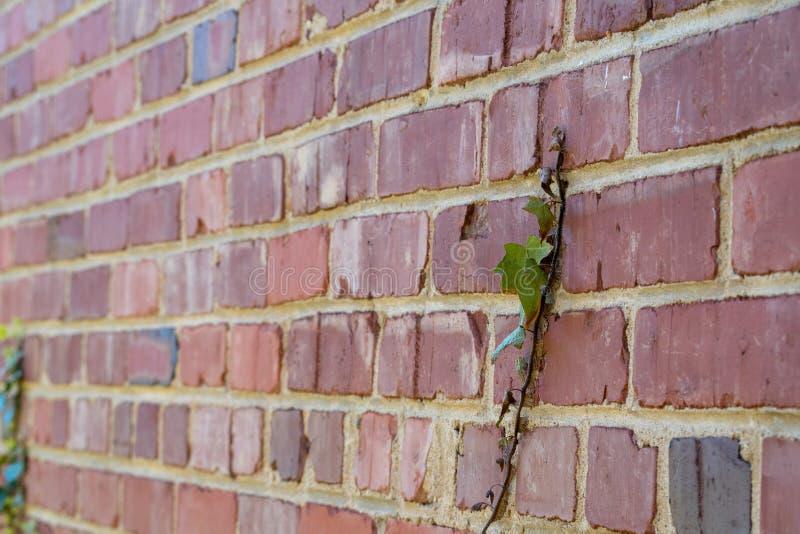 De groene klimop groeit rode bakstenen muur royalty-vrije stock foto