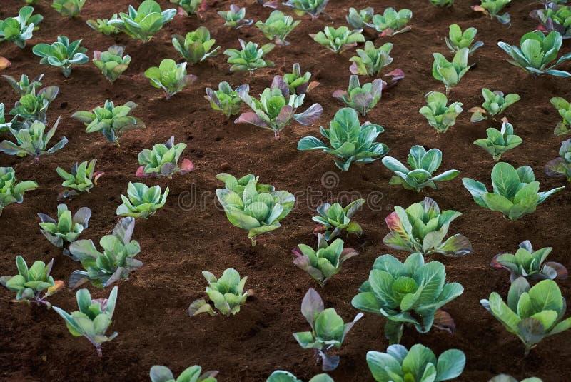 De groene kool groeit op de tuingrond Organische plantaardige achtergrond als Landbouw en de landbouwconcept royalty-vrije stock afbeelding