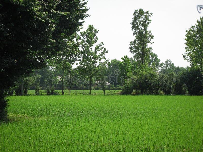 De groene lente van het padiepadieveld Organisch die padievelden of padiegebied door bomen in Iran, Gilan wordt omringd royalty-vrije stock afbeeldingen
