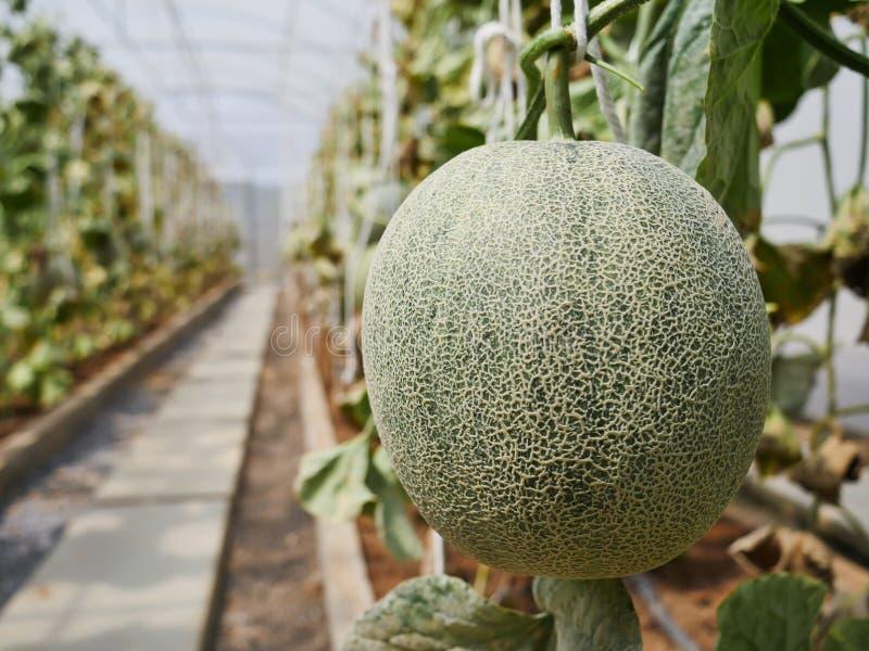De groene meloen in het landbouwbedrijf royalty-vrije stock afbeelding