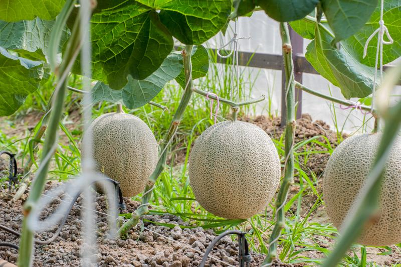 De groene meloen van Japan in serre royalty-vrije stock fotografie