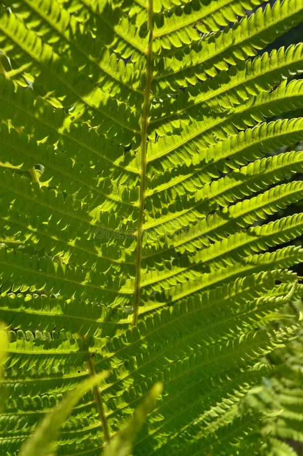 De groene naaldinstallatie op de Bank van thegreen varenbladeren onder de zon stock afbeelding