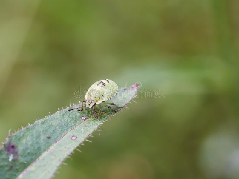 De groene nimf van het schildinsect - Palomena-prasina - een Europees schildinsect stock foto's