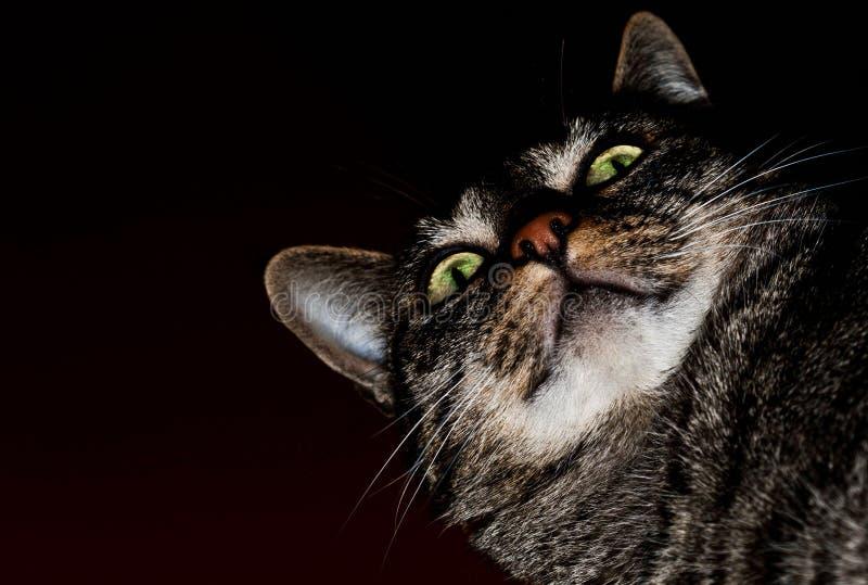 De groene ogen van de kat stock afbeelding