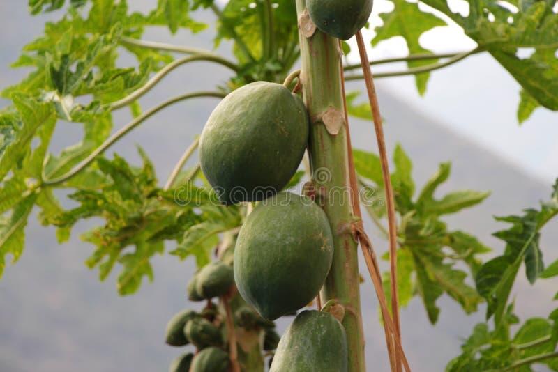 De groene papajavruchten groeien op de boom stock afbeeldingen