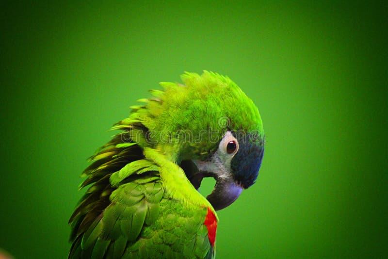 De groene papegaai krast zich royalty-vrije stock fotografie