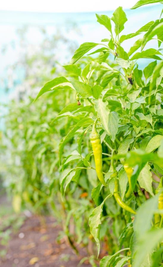 De groene paprika's in a gtarden flard stock afbeeldingen