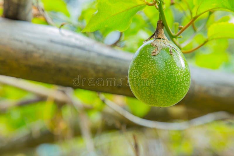 De groene passievrucht op het landbouwbedrijf dichte omhooggaande beeld stock fotografie