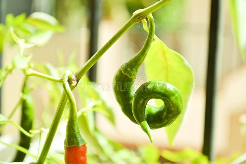 De groene Peper van Spaanse pepers royalty-vrije stock afbeelding